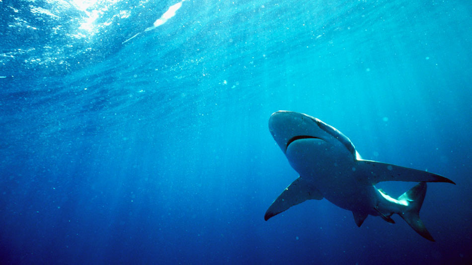 great white shark hunting for sales